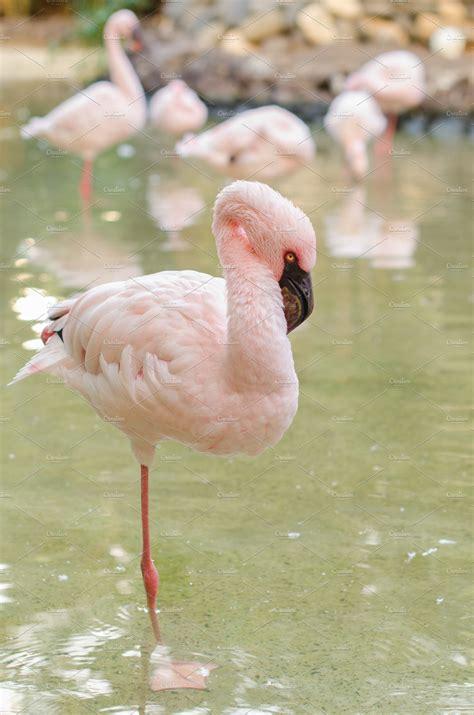 flamingo stand   leg animal  creative market