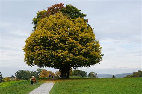 what type of maple tree do i maple trees which types are best for firewood syrup shade foliage off the grid news