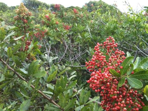 you asked what is that bush with the red berries growing
