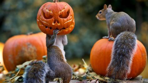 Full HD Wallpaper halloween forest squirrel Jack o