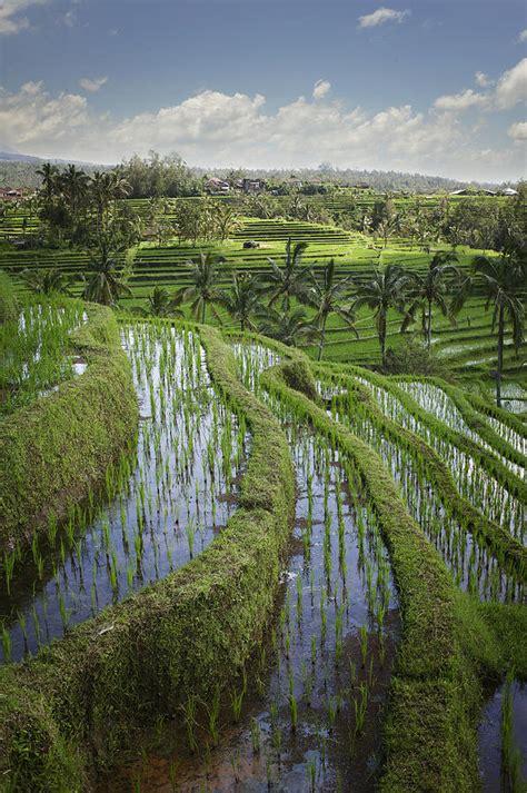 rice fields jatiluwih bali indonesia photograph  huy lam