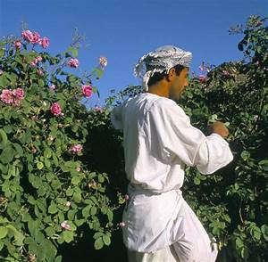 Wann Schneidet Man Rosen Zurück : oman rosen bl hen millionenfach im hochgebirge welt ~ Orissabook.com Haus und Dekorationen