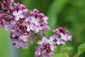 Wann Blüht Flieder : flieder schneiden wann und wie geht 39 s so verj ngen sie ~ Lizthompson.info Haus und Dekorationen