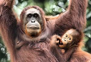 Mother And Baby Orangutan Borneo Photograph by Carole-Anne