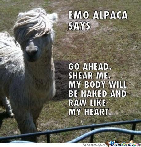 Alpaca Meme - alpaca memes best collection of funny alpaca pictures