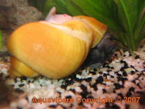 escargot aquarium eau douce reproduction
