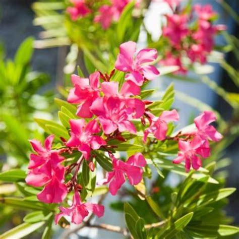 quel engrais pour laurier en pot fleurs de bordure liste ooreka