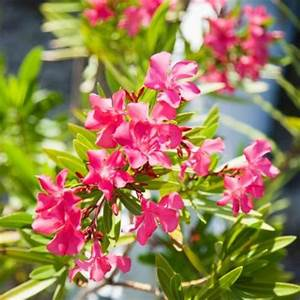 Laurier Rose Entretien : plante facile d 39 entretien liste ooreka ~ Melissatoandfro.com Idées de Décoration