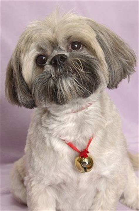 lhasa apso breed shedding 25 best ideas about lhasa apso on lhasa apso
