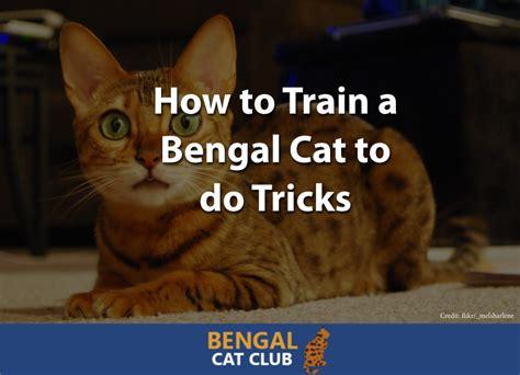 train  bengal cat   tricks bengal cat club