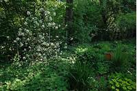 plants for deep shade a garden diary: Plants for deep shade - Hydrangea arborescens