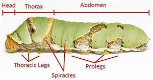Caterpillar Anatomy