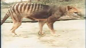 Colorized footage of last known Tasmanian tiger