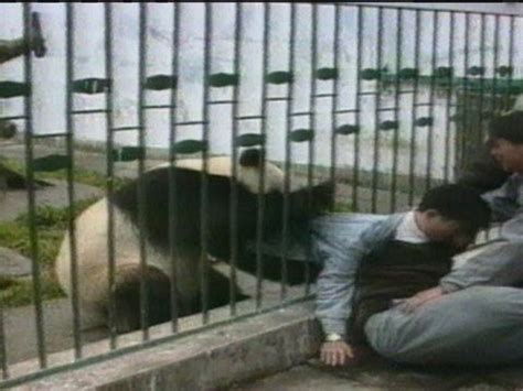 archive classic angry panda attacks man  steals