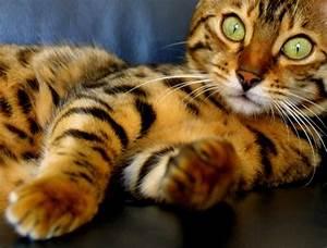Domestic mini tiger / i heart cats - Juxtapost