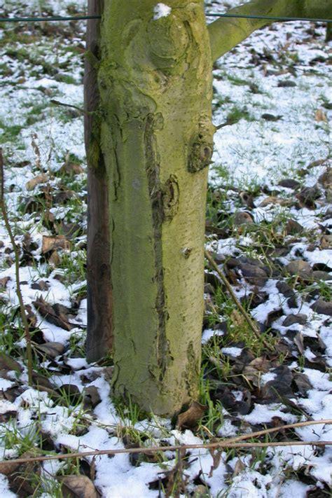 obstbäume vor schützen obstb 228 ume sch 252 tzen landwirtschaftskammer nordrhein westfalen