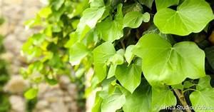 Kupfersulfat Gegen Efeu : efeu gegen husten und bronchitis netdoktor ~ Yasmunasinghe.com Haus und Dekorationen