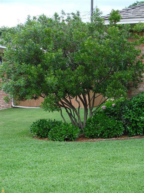 evergreen wax myrtle tree pruned  grow  bush