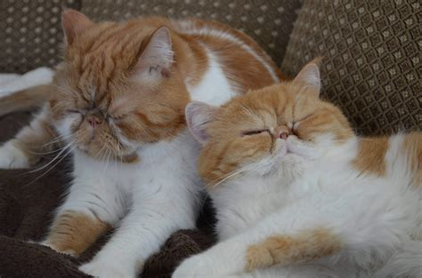 Exotic Shorthair cat History Fact Size Personality And Photos