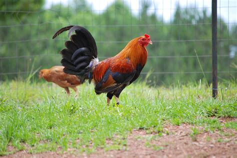 Gamefowl Farms Alabama