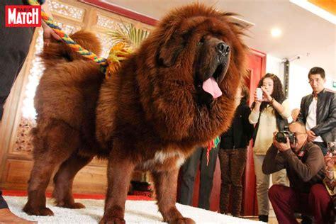 canap le plus cher du monde record en chine le chien le plus cher du monde