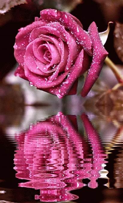 Rose Rosa Animation Agua El Animated Gifs