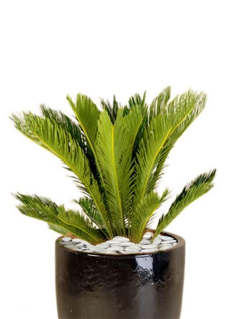 indoor plant hire office plants tropical plant rentals