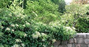 Hortensie Als Zimmerpflanze : hortensie standort welche hortensie f r sehr schattigen ~ Lizthompson.info Haus und Dekorationen