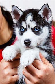 Siberian Husky Puppy Adorable
