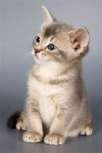Domestic Cat - Animal Facts and Information  Domestic