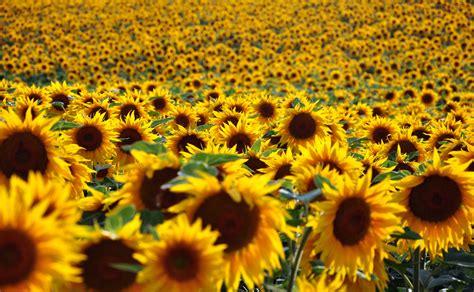wenden sich sonnenblumen immer der sonne zu