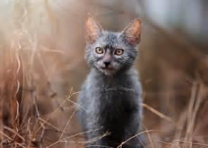 lykoi cat for home lykoi cats the original lykoi breeder