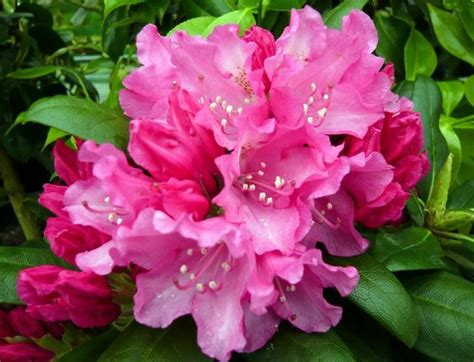 Rhododendron 'Kalinka' - Mūžzaļais rododendrs