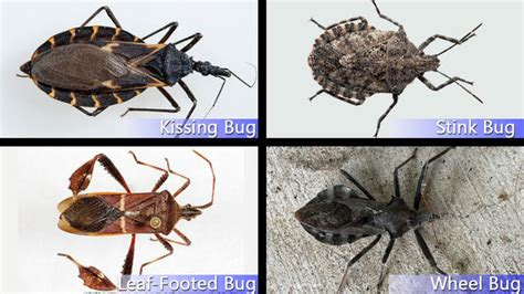 hidden threat identifying kissing bugs  similar bugs