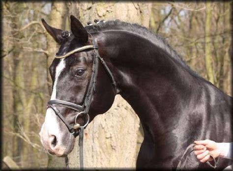 hanoverian warmblood horse rotspon jumping dutch trakehner warmbloods head reblog test breeds oldenburg