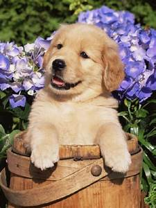 Golden retriever puppy so cute | So Cute It Hurts | Pinterest