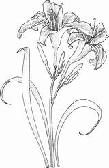Flower Sketches Coloring Drawings Drawing Pages Flowers Printable Lilies sketch template
