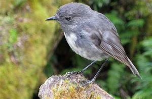 New Zealand robin/toutouwai: Land birds: Native animals