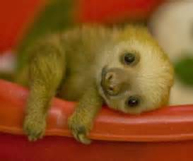 Cutest Baby Sloth Ever