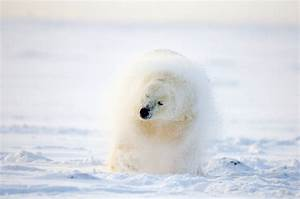arctic, countries, commit, to, protecting, polar, bears