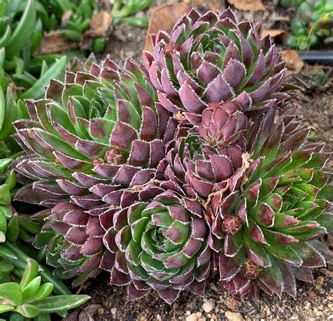 The wonderful world of succulents - Northern Nevada ...