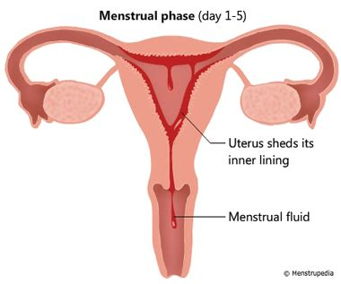 uterine lining shedding after period uterine tissue during period