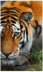HD Bengal Tiger Background   PixelsTalk.Net