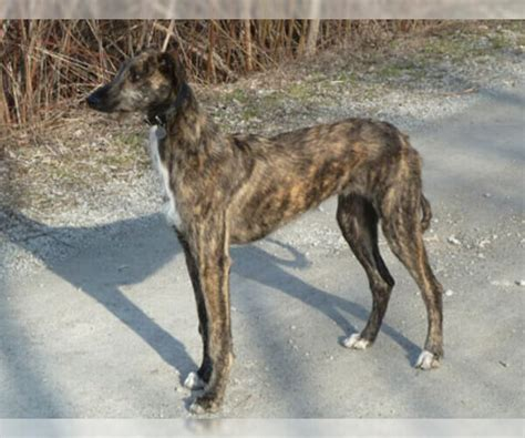american staghound breed information  pictures