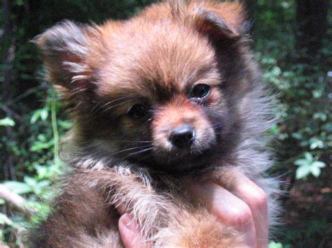 Ee  Cute Ee   Puppy By Cindy Fuzzy Brown Puppy Openp O Net