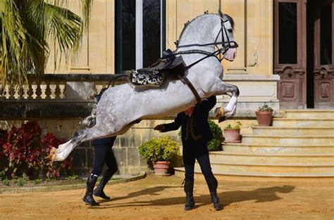 horses horse dressage andalusian equestrian royal andalusia draft last exhibition solo