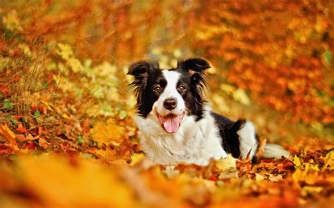 wallpapers border collie dog leaf autumn bokeh fall