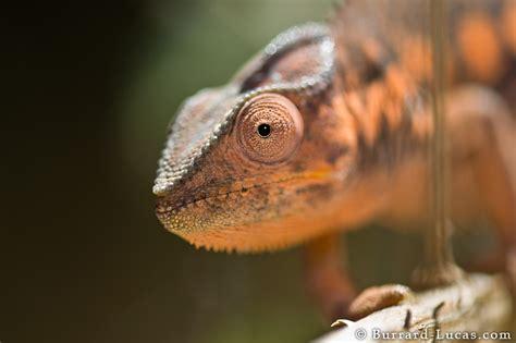 orange panther chameleon burrard lucas photography