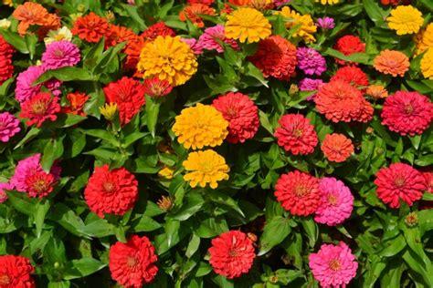 zinnia california giants mixed colors
