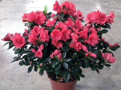 rhododendron en pot entretien azal 233 e rhododendron esp 232 ces nombreuses entretien arrosage
